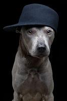 beautiful thai ridgeback dog in cap
