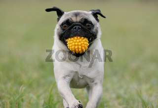 Mops mit Ball