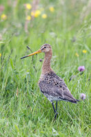Black-tailed godwit in green