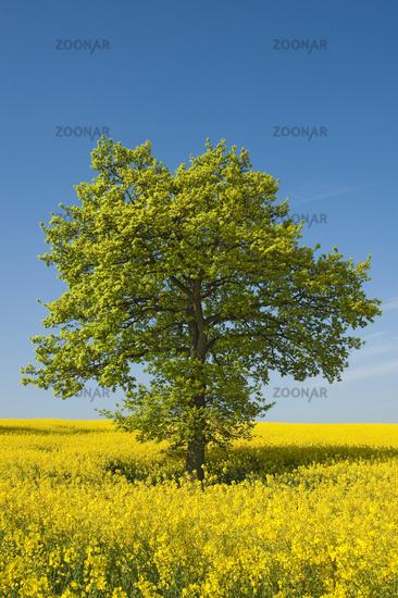 Lime tree in the rape field