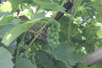 Grapes with green leaves 20535