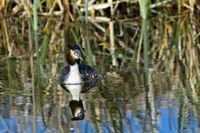 Great crested grebe (Podiceps cristatus),