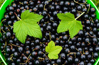 Ripe blackcurrant berries with green leaves