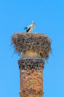 Adult stork in nest on chimney