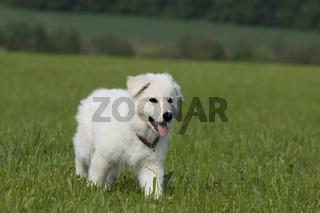 weisser schweizer schaeferhund welpe, amerikanisch kanadischer schaeferhund