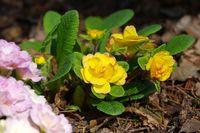 Primel Blumen im Frühling - primrose flower in spring