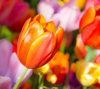 Outstanding orange tulip in a flower