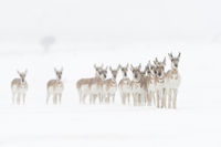 in harsh winter conditions... Pronghorns *Antilocapra americana*