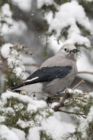 in deep snow... Clark's nutcracker *Nucifraga columbiana*