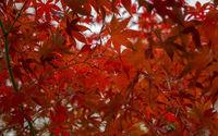 Japanischer Fächerahorn