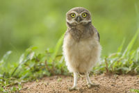 Young burrowing owl in Brazil.
