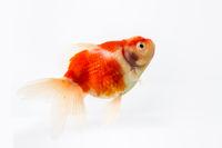 beautiful goldfish isolated