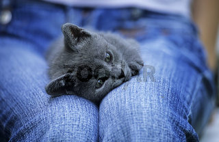 Russisch Blau, Kartaeuser,  Katze, Carthusian cat