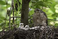 bored... Sparrowhawk *Accipiter nisus*
