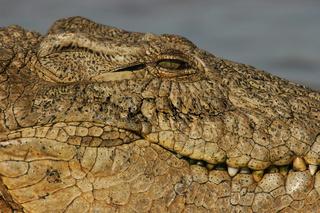 Nile Crocodile-Portrait-South Africa