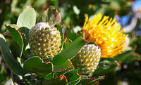 Yellow Protea, South Africa