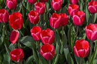 Dutch tulips Rosy Delight, Darwinhybrid Group, Keukenhof Gardens, Lisse near Leiden, Netherlands