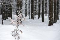 Fichtenwald im Winter mit Schneedecke
