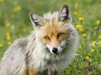 mountain fox in Switzerland