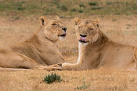 two lioness ine the Kruger National Park South Africa