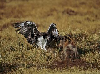 Kampfadler gegen Warzenschwein, Polemaetus bellicosus, Phacochoerus africanus, Martial Eagle, Warthog