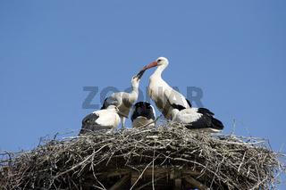 Weissstorch, white stork