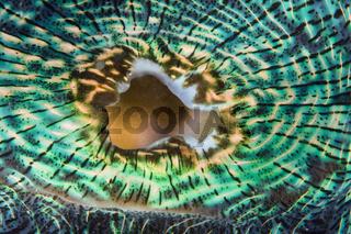 Mantel einer Moerder-Muschel, Tridacna Squamosa, Mikronesien, Tridacna Squamosa, Micronesia