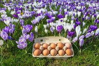 Egg box with chicken eggs in crocuses