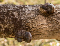 Phellinus tremulae, a parasitic polypore fungus, growing on the trunk of a dead, fallen aspen tree, Populus tremula.