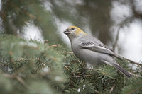 feeding on seeds... Pine grosbeak *Pinicola enucleator*