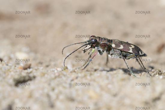 Northern Dune Tiger Beetle, Cicindela hybrida