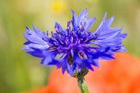 Cornflower 7