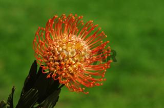 'Spinnen Chrysantheme'