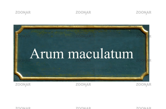 shield Arum maculatum