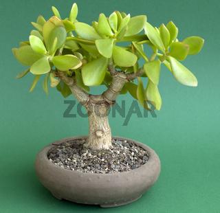 Pfennigbaum (Crassula ovata) als Bonsai