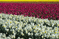 Cultivation of daffodils and tulips for the production of flower bulbs, Bollenstreek, Netherlands