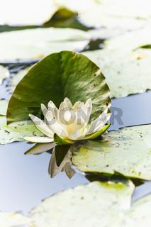 Seerose mit Blättern und einer Blüte in weiß auf einem See.