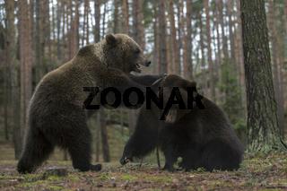 Kräftemessen... Europäischer Braunbär *Ursus arctos*, Jungbären im spielerischem Kampf