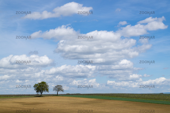 Walnut trees (Juglans regia) in front of a cloudy sky