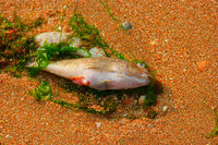 Dead fish on sand