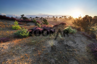 beautiful sunrise over dunes and flowering heather
