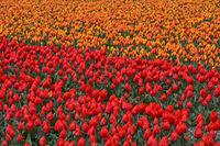 Blooming tulip field of red and orange tulips, Bollenstreek region, Netherlands