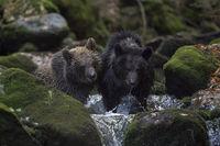 in the flowing water of a wild creek... European Brown Bears *Ursus arctos*