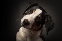 appenzeller dog in portrait on black
