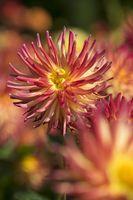 Dahlia (Dahlia sp.)