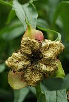 Fruchtstand der Paradieslilie