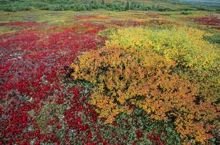 Tundralandschaft mit Zwergbirken und Alpenbaerentrauben im Herbst / Denali Nationalpark  -  Alaska