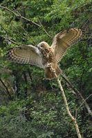 balancing... Northern Eagle Owl *Bubo bubo*