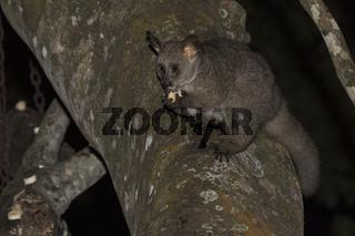 Großohr-Riesengalago (Otolemur crassicaudatus)
