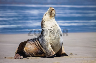 Impressive Australian sea lion on the beach sitting upright, Seal Bay, Kangaroo Island, South Austra
